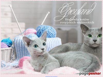 Hodowla kotów rosyjskich niebieskich